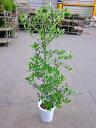 オリーブの木 8号鉢(8寸鉢)平和のシンボルとして人気のある観葉植物です。小さくて可愛い葉がインテリアグリーンとして最適です。観葉植物 植木 庭木 ギフト プレゼント シンボルツリー 販売 鉢植え【smtb-s】【05P01Mar15】
