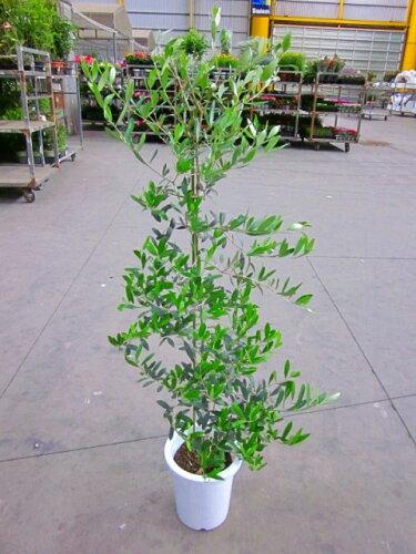 オリーブの木 8号鉢(8寸鉢)平和のシンボルとして人気のある観葉植物です。小さくて可愛い葉がイ...