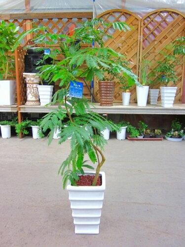 エバーフレッシュ ねむの木 8号陶器鉢植え 昼は起きて夜になるとお休みモード♪観葉植物 インテリ...