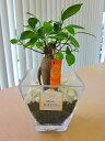 ハイドロカルチャー 観葉植物 ガジュマル スクエアガラスベース(炭)石のせ 人気の水耕栽培です。インテリア 贈り物 ギフト 水耕栽培 …