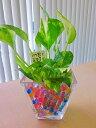 ハイドロカルチャー観葉植物 スクエアガラスベース(ゼリー) 人気の水耕栽培です。カラフルでかわいいゼリーボールがきれいなグリーン..