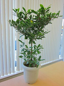 [送料無料]ミラクルフルーツの木 すっぱい物が甘くなる不思議な実です♪ミラクルフルーツの木(...