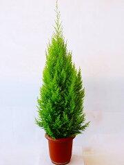 ゴールドクレスト★冬の定番はツリーに最適です★ゴールドクレスト・ウィルマ(8号)もみの木の...