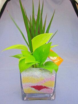 ハイドロカルチャー観葉植物 迎春バージョン スクエア10 素敵なお正月バージョンの期間限定販売デザインです。インテリアやギフト、贈り物にオススメです♪