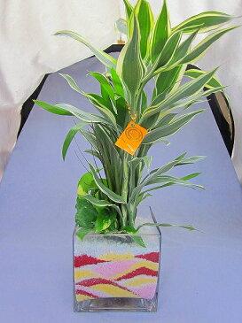 ハイドロカルチャー観葉植物 迎春バージョン スクエア15 素敵なクリスマスバージョンの期間限定販売デザインです。インテリアやギフト、贈り物にオススメです♪【smtb-s】