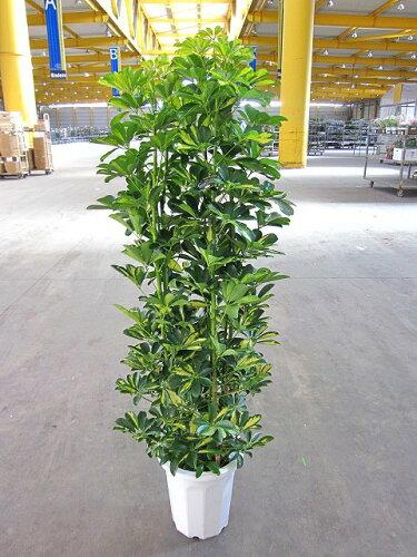 斑入り シェフレラ・ホンコン・カポック 10号 観葉植物 つやつやした厚みのある葉がとてもキレイな...