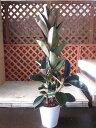 フィカス・バーガンディ 陶器鉢植え 黒ゴム 観葉植物 ゴムの木 販売 苗 苗木 鉢植え 陶器鉢 希少種 送料無料 フィカスバーガンディ ブラック・フイカス
