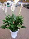 スパティフィラム メリー 8号 観葉植物 鉢植え 販売 苗 苗木 送料無料 インテリア 贈り物 ギフト お誕生日 記念日 開店祝い