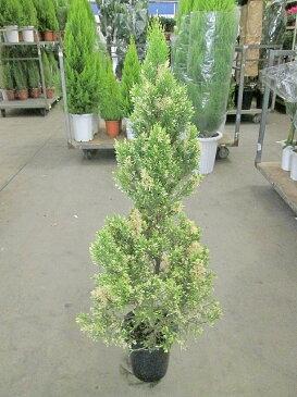 クイーンクレスト コニファー 8号 ゴールドクレスト・斑入り 観葉植物 鉢植え 苗 苗木 木 販売 送料無料