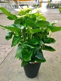 アンスリウム(アンスリューム)白 8号鉢 四季咲きで花持ちが良く涼しげでギフトとして大変喜ばれている人気商品です。大変大きく高さもありお部屋のインテリアとして置いて頂くと一段と華やかになります。開店祝い、新築祝いなどにもおすすめです。【smtb-s】