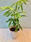 エバーフレッシュ 4号 ホワイト 観葉植物 ねむの木 インテリア 贈り物 ギフト 母の日 誕生日 記念日 開店祝い 鉢