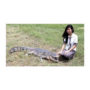 動物BIG,長さ241cmの巨大「アメリカワニ」!代引不可-アニマルビッグフィギュアシリーズ【アメ...