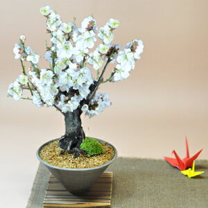 White plum mortar [Plum bonsai White flowers Gift Bonsai Open Celebration Retirement Lapping Mother's Day Father's Day Respect for the elderly birthday】