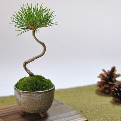 小さくてかわいいでもしっかりと盆栽してます。かわいい盆栽 くろまつミニミニ鉢 癒されるミ...