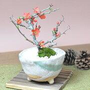 四季咲き ラッピング プレゼント ミニチュア