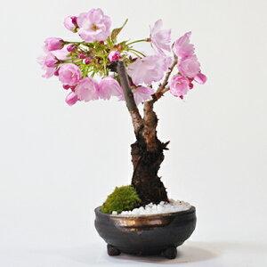 小さくても迫力充分花満開桜の盆栽 自宅で花見を楽しめるミニ桜の盆栽 小さくとも見応えたっぷ...