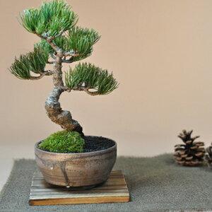 松の産地四国の五葉松です。四国五葉松の盆栽 四国ブランドの人気の松盆栽がお手頃価格で。【楽...
