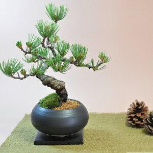 洋風でも和風でも雰囲気のあう盆栽枝ぶりの良い五葉松の盆栽 丸和鉢仕立て 上品な趣と情緒あふ...