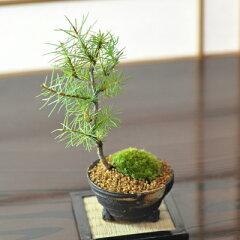 紅葉して落葉するおもしろい松カラマツ 落葉する松の盆栽