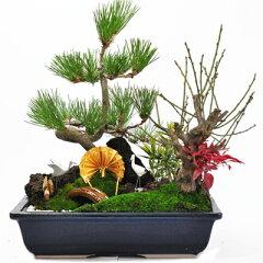 迎春の松竹梅寄せ植え。ゴージャスです。松竹梅の寄せ植え 迎春の盆栽12/20以降にお届け 【盆栽】