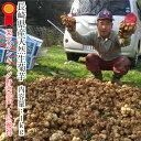 長崎県産 生菊芋 (天然のインスリン)とも呼ばれるスーパーフ...
