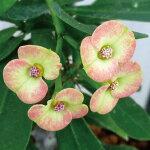 ユーフォルビア・ハナキリン「多肉植物」[Euphorbiamilii]トウダイグサ科ユーフォルビア属花麒麟