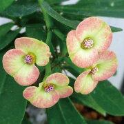 ユーフォルビア・ハナキリン 多肉植物 トウダイグサ ユーフォルビア