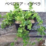 多肉植物 ペペロミア・イザベラ イザベル