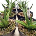 アガベ・笹の雪(濃黄覆輪)「多肉植物」Agavevictoriae-reginaevariegata