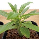 【本州送料無料】パキポディウム・フィヘレネンセ「多肉植物」Pachypodiumlamereivar.fiherenense塊茎植物コーデックスパキポディウム属