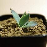 多肉植物アガベパリーチワワAgaveparryiv.chihuahua