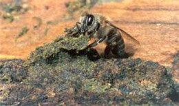 アフリカ化ミツバチとグリーンプロポリス