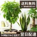 【送料無料 インテリア】選べる♪観葉植物6号鉢【カゴ付き 受け皿付き】...