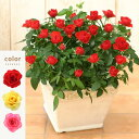 <専門店のバラの鉢植え>花色が選べる 送料無料 リエールスク