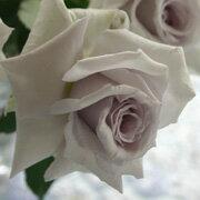 大人気!この花は限りなく美しい!ミニバラ 青系 大輪系【大輪系】グラウンブルー(4号)