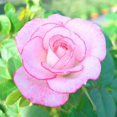 多花性で少女の様な可憐なピンクラブリープリンセス・オプティマ