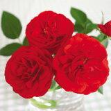 レッドシンフォニー(3.5号) ミニバラ苗 バラ苗 花壇 花 バラ 薔薇 ミニバラ 種類 ガーデニング