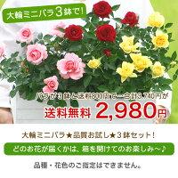 【送料無料2980円】大輪ミニバラ!品質お試し3鉢セット(※品種・花色指定不可)