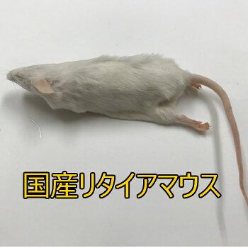 国産冷凍リタイアマウス 10匹入り 冷凍 マウス 国産 1匹40g前後
