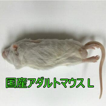 国産冷凍アダルトマウスLサイズ 10匹入り 冷凍 マウス 国産 1匹25g