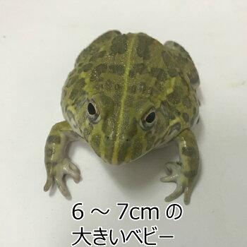 アフリカウシガエル  ベビー6〜7cm  両生類 カエル