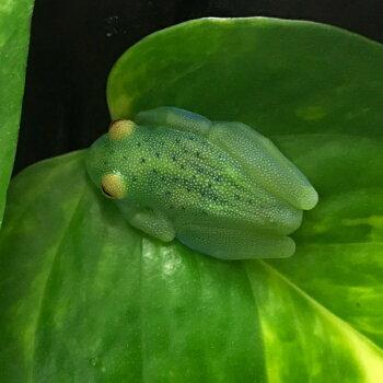 グラニュローサアマガエルモドキ   両生類 カエル グラスフロッグ