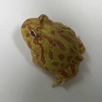 クラウンウェルツノガエル  イエロー  ベビー 4〜5cm 両生類 ツノガエル