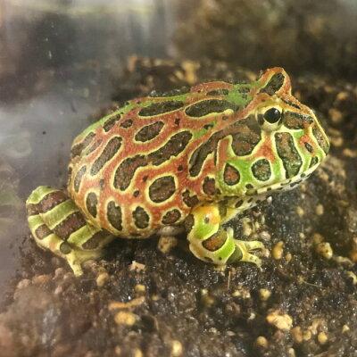 飼育 カエル カエルの飼い方をご紹介!餌は何をあげる?飼育しやすい種類は?