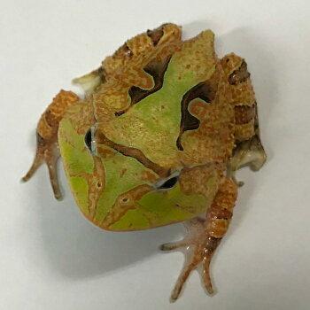 アマゾンツノガエル  グリーンバック  ベビー 4〜5cm 両生類 ツノガエル