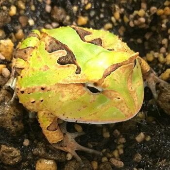 アマゾンツノガエル  グリーン  ベビー 4〜5cm 両生類 ツノガエル