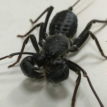 テキサスジャイアントビネガロン   7cm前後 世界3大奇虫  サソリモドキ