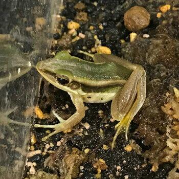 アジアミドリガエル   4〜5cm  WC 両生類 カエル