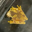 スナドケイアマガエル 両生類 カエル ツリーフロッグ