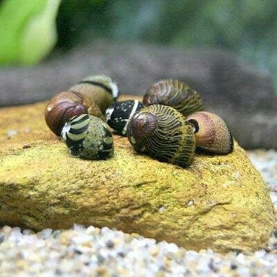 水槽や石の表面のコケを食べる!(エビ・貝)カラー石巻貝(4匹) 北海道・九州・沖縄航空便要...